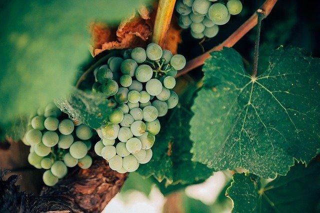 Dolnośląski szlak winny nie tylko dla miłośników wina